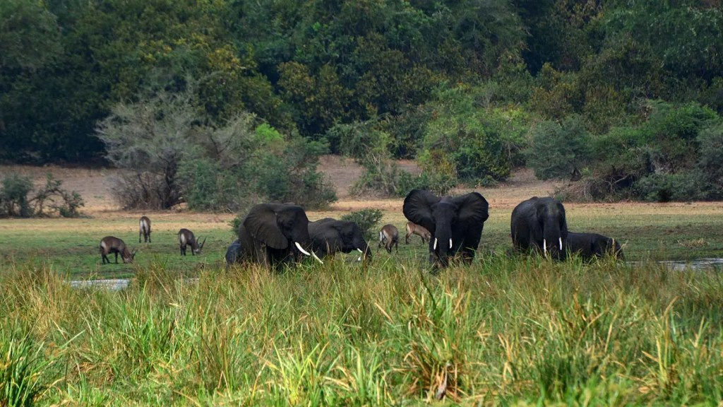 Murchison Falls Elephants roam the banks of the Nile