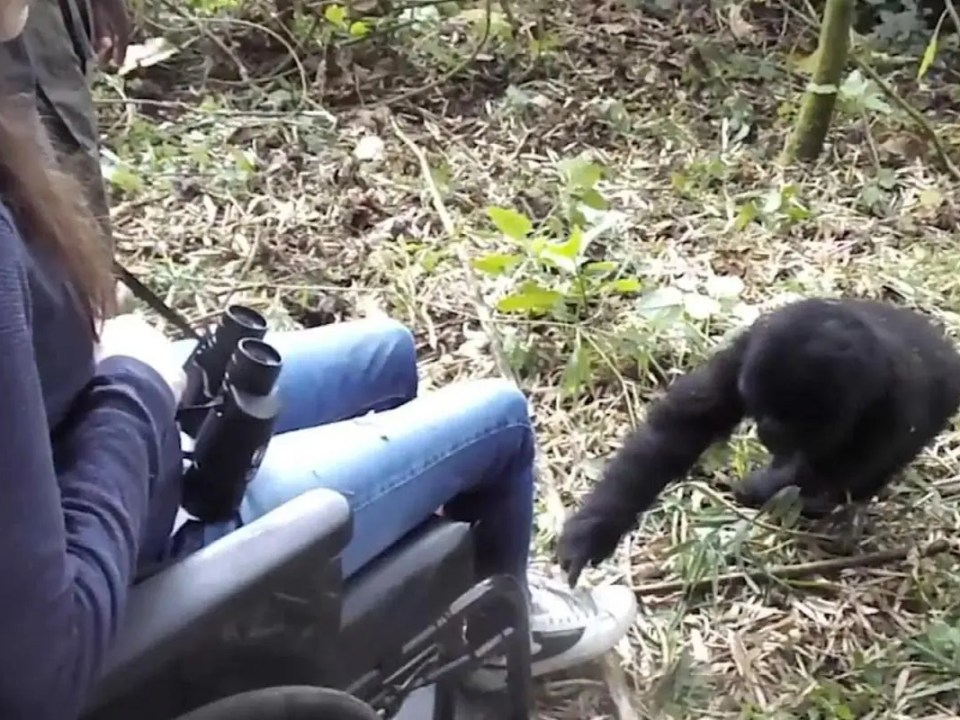 Special Needs Gorilla Safaris - Gorilla Safaris for Tourists with Disabilities