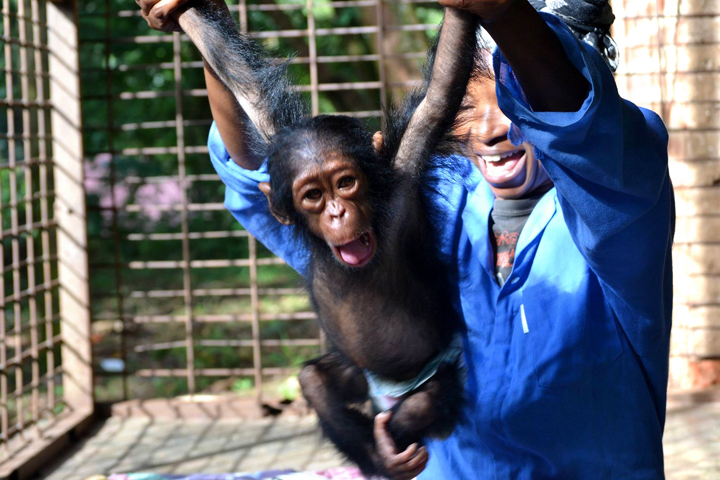 Orphan chimpanzee Kindu. Image courtesy of Lwiro Primates. www.lwiroprimates.org