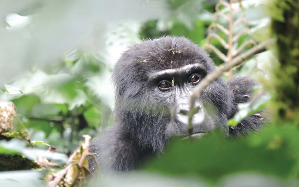1 Day Rwanda Gorilla tracking Experience tour - rwanda gorilla trekking safari