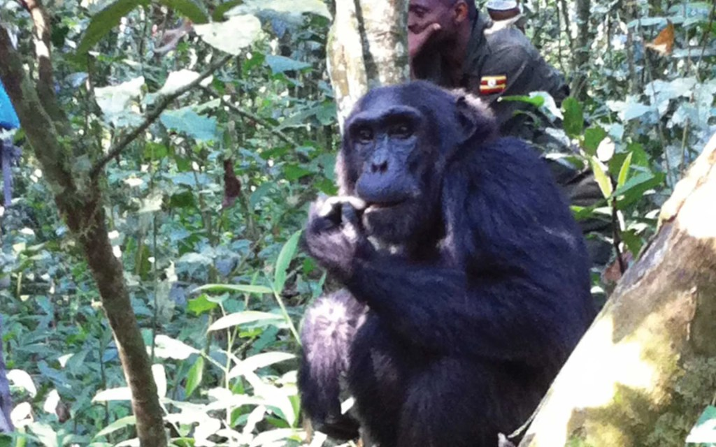 Kibale National Park Chimpanzee Safari