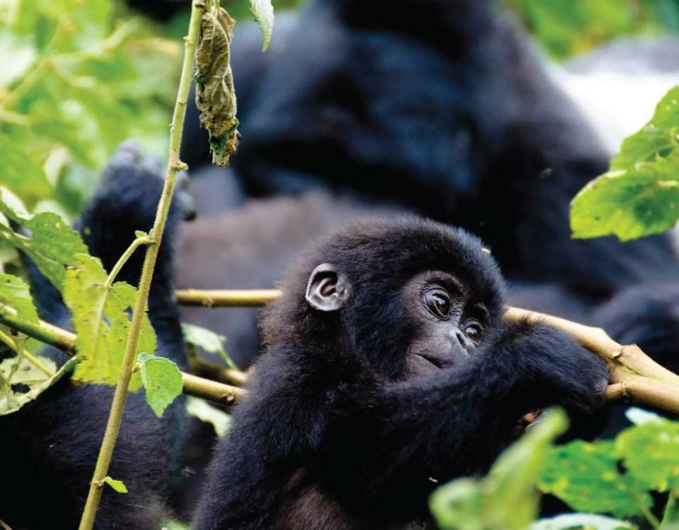 Bwindi Forest - Gorilla Trekking - Uganda Safari