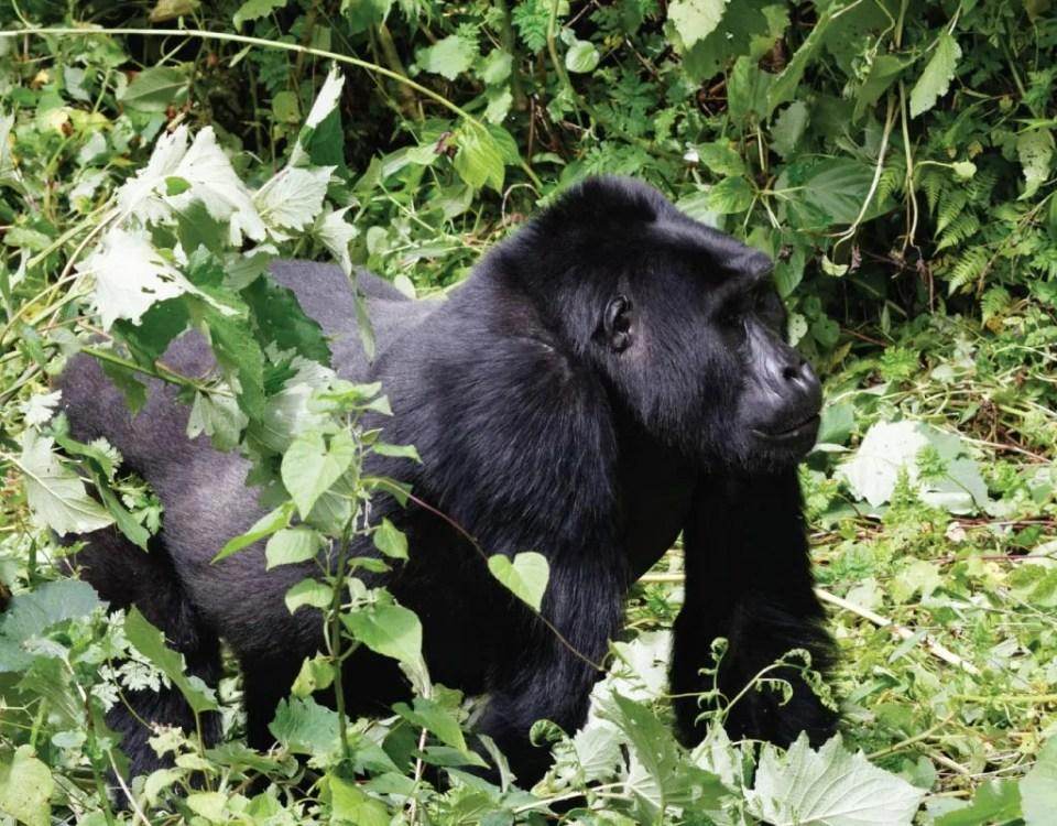 Chimps Safari Express Bikingi Gorilla Group