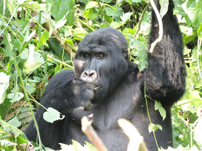 Gorilla trekking Experience in Uganda