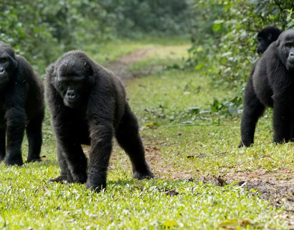 Mubare Gorilla Group (M Group)
