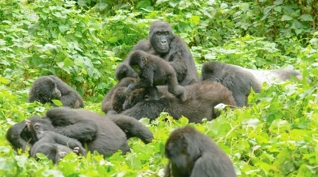 What you need to know about Mountain Gorillas, family and group