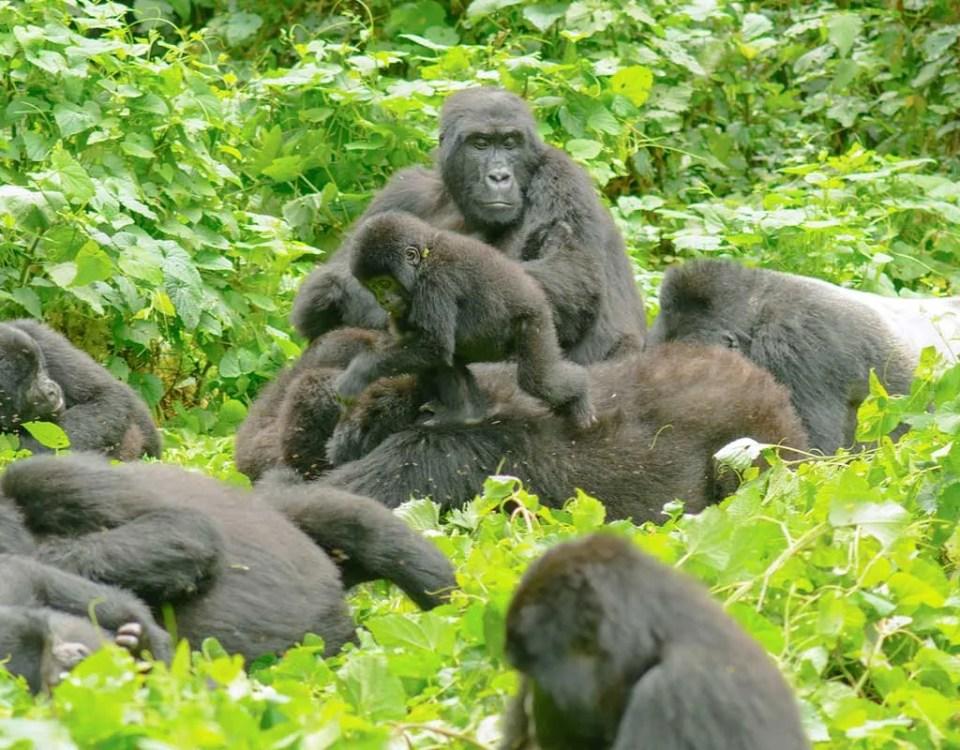 Habinyanja Gorilla Group (H_Group) - gorilla trekking Uganda