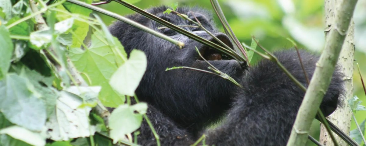 The Playful mountain Gorilla