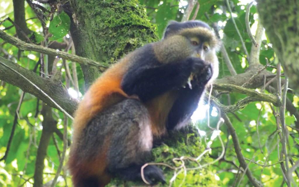 Mgahinga Gorilla National Park, Golden Monkeys