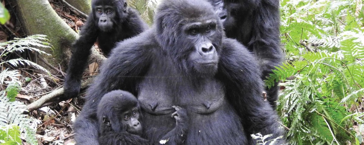 Watching the Gorilla Family