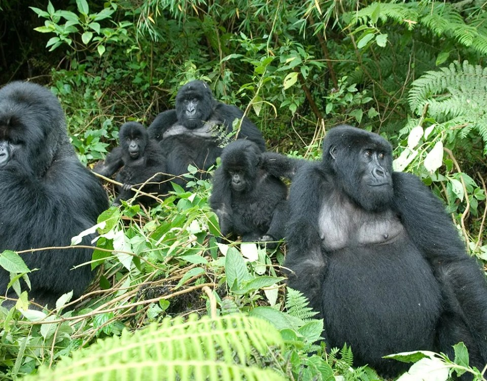 The ultimate gorilla trekking experience in Uganda