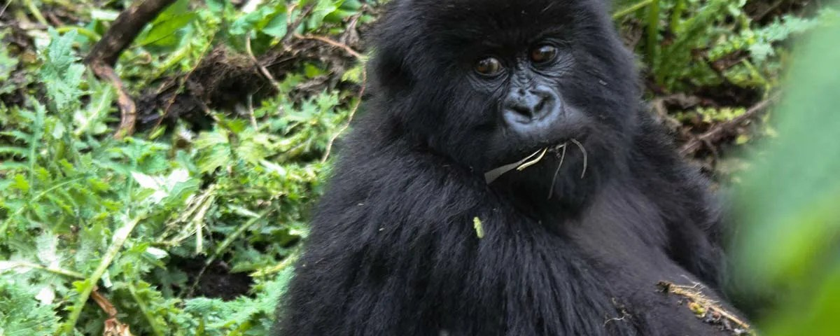 How trekking is protecting Rwanda's mountain gorillas
