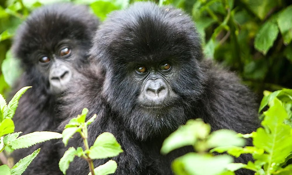 Congo Gorilla Safari & Nyiragongo