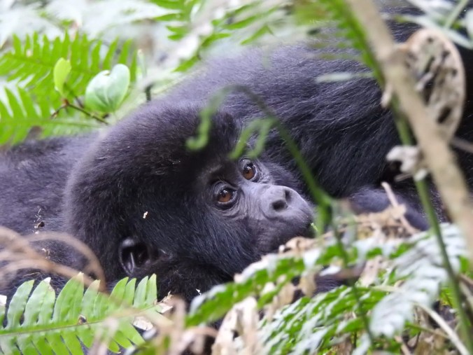 Uganda Gorillas, why you need to visit them