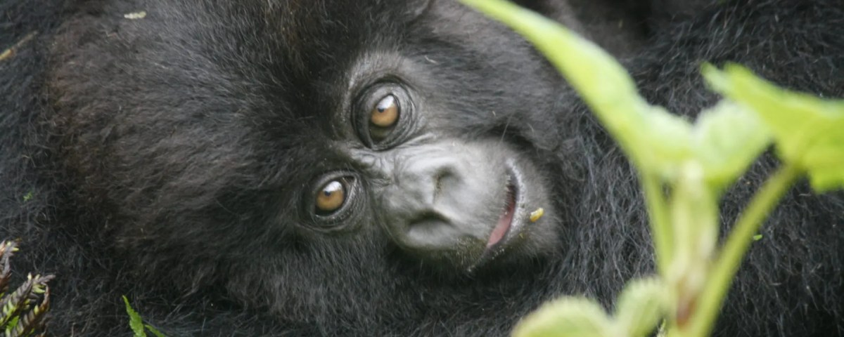 Uganda Gorillas; Why you should visit them