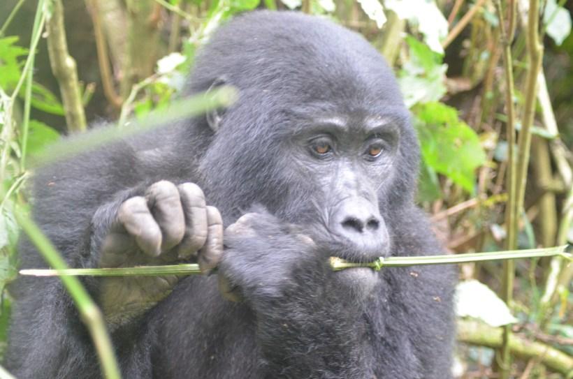 Uganda Gorillas- why you need to visit them
