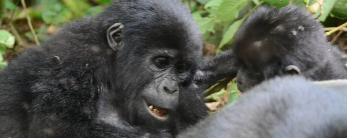 Uganda Gorillas and Chimpanzee Tour, kwita Izina ceremony 2019