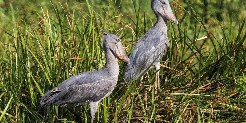 Bird watching tours, Uganda birding safaris-Gorilla Safari Experts Uganda