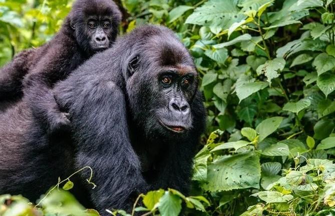 Eastern Lowland Gorilla Trekking in Kahuzi Beiga National Park.
