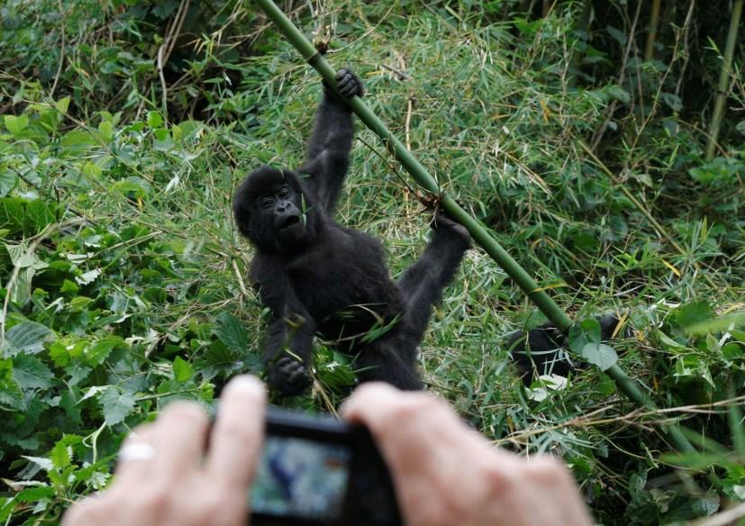 gorilla trekking comparing Uganda Rwanda
