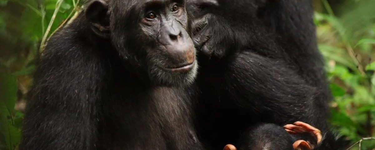 Ngamba Island Chimpanzee Sanctuary Tour