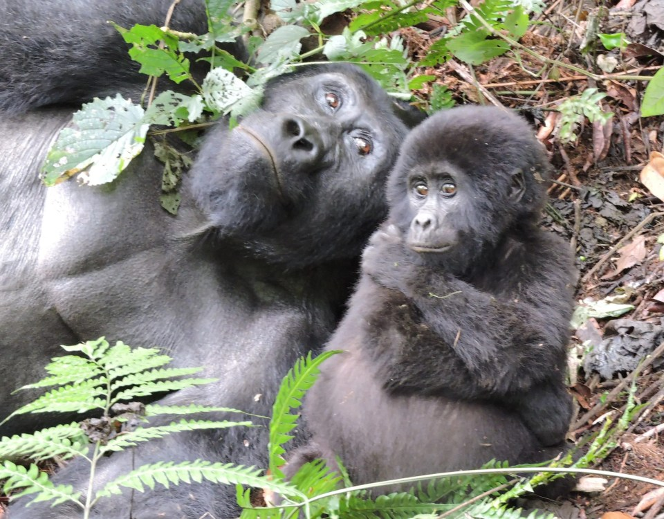 How Long Does Gorilla Trekking Take in Uganda, Rwanda & Congo