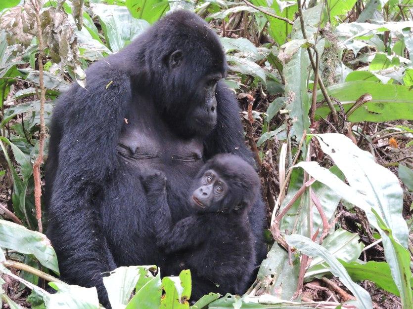 How to Keep Mountain Gorillas Safe from Coronavirus   Gorilla Safaris