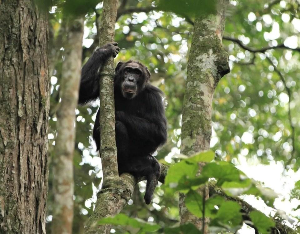 Chimpanzee Trekking in Nyungwe Forest National Park Rwanda