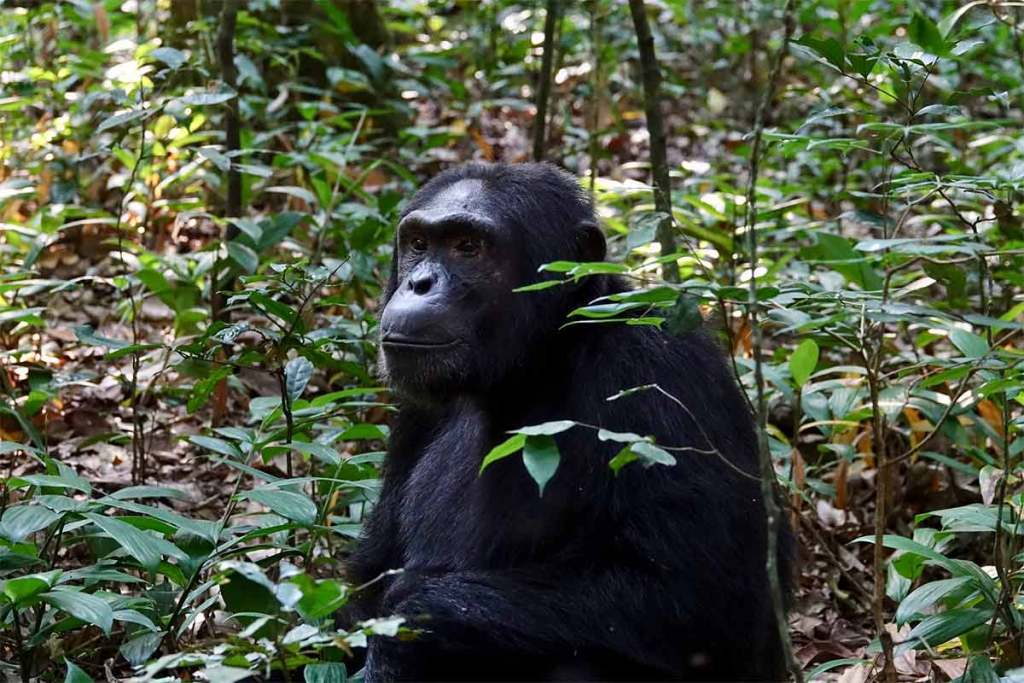 2 Days Chimps Tracking Budongo
