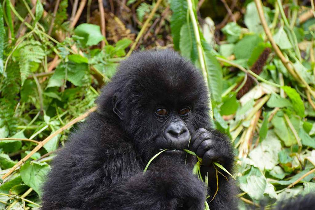 6 Days Gorilla Trekking & Wildlife Safari