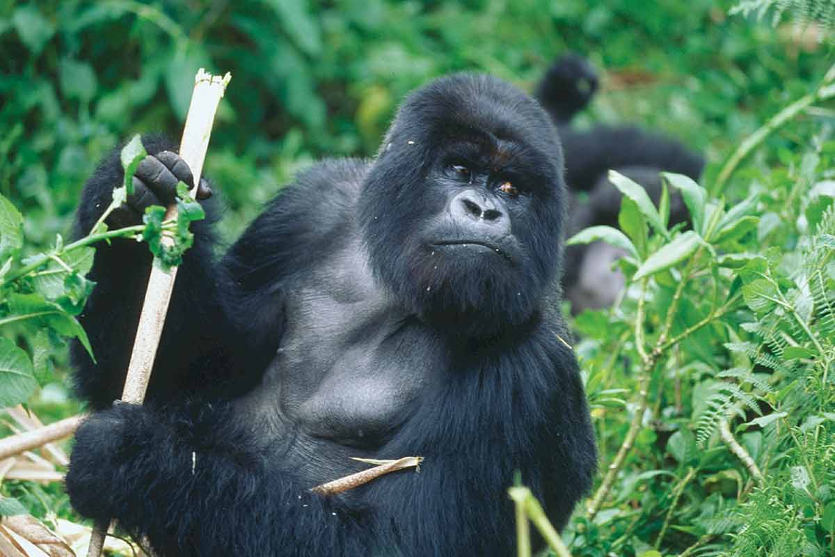 7-Days-Uganda-Chimpanzee-&-Gorillas-Safari
