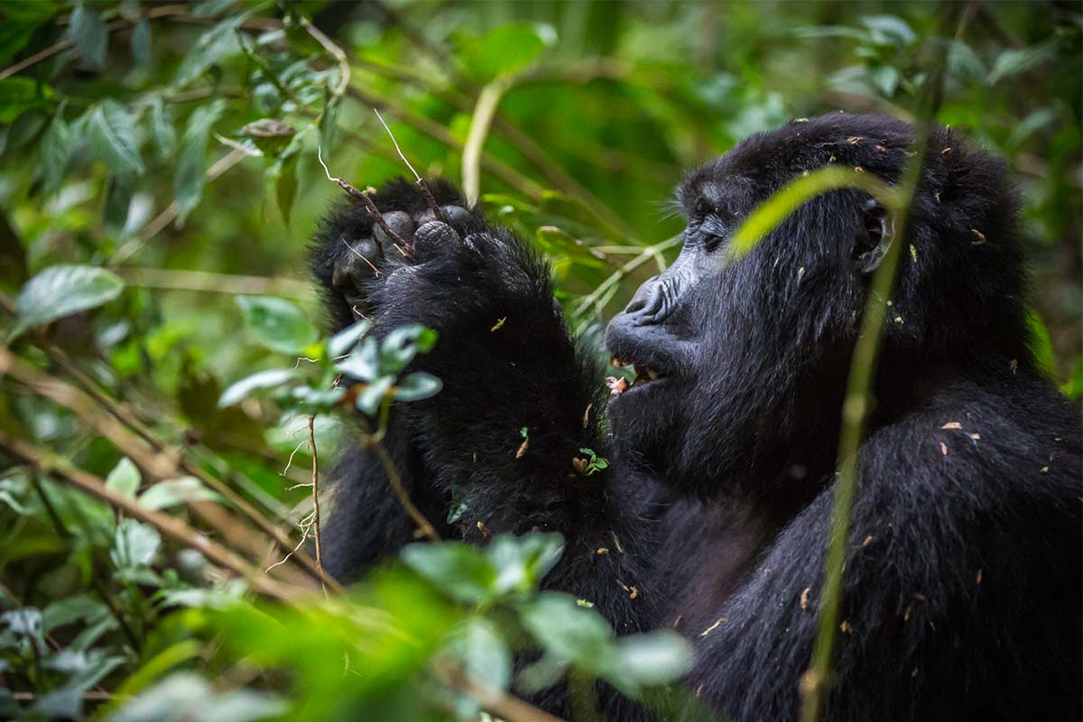 the mountain gorilla- 8-Days-Uganda-Gorilla-Tracking-&-Wildlife