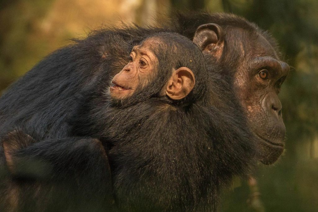 Ngamba Chimpanzee Sanctuary- Kibale Forest National Park