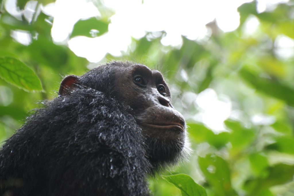 Chimpanzee Tracking Safari in Kibale Forest