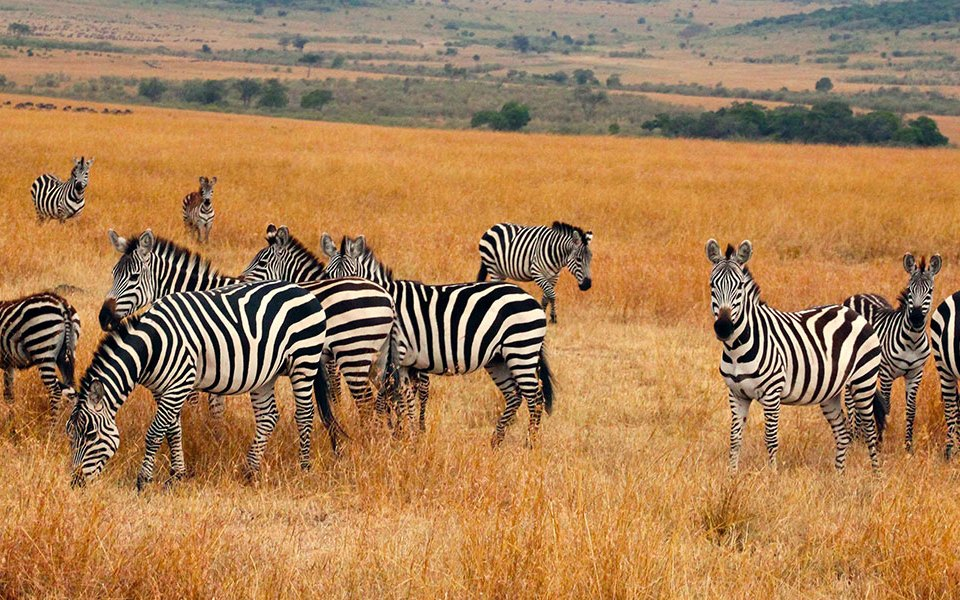 Zebras in Kidepo National Park