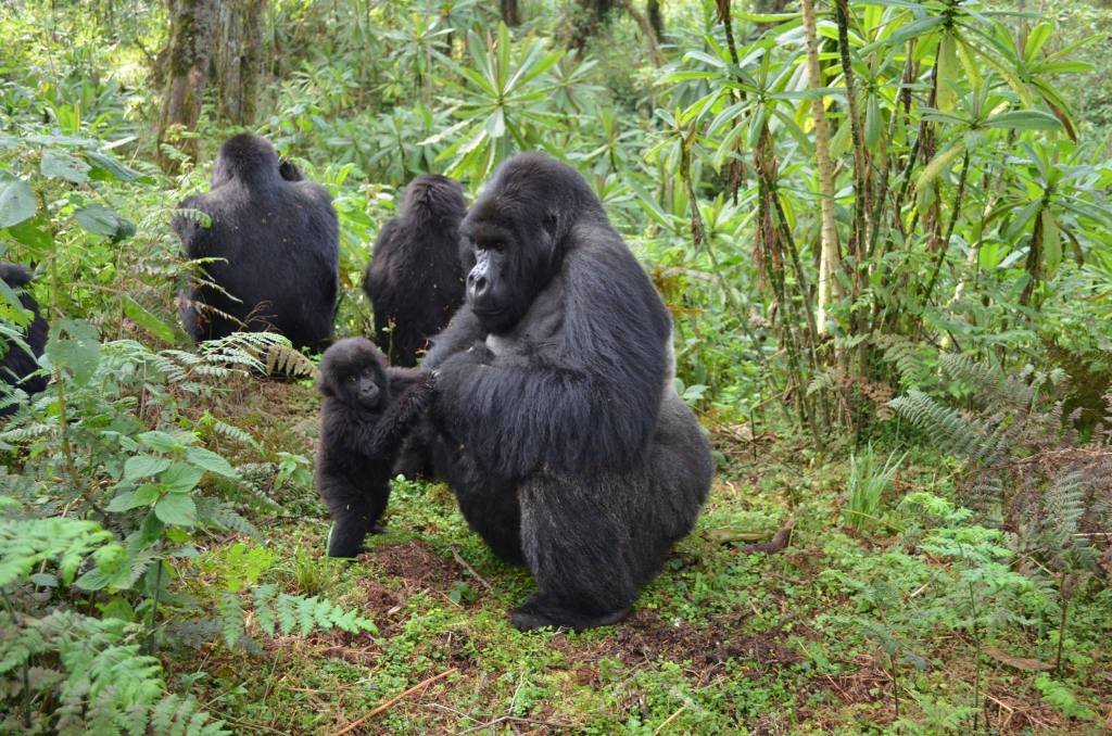 was named after the Sabyinyo volcano Gorillas and Wildlife Safaris