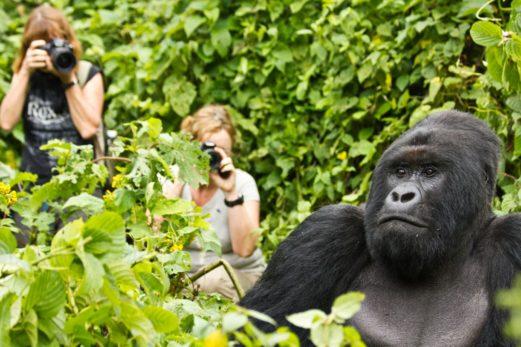 Uganda gorilla habituation experience tours gorillas and Wildlife Safaris