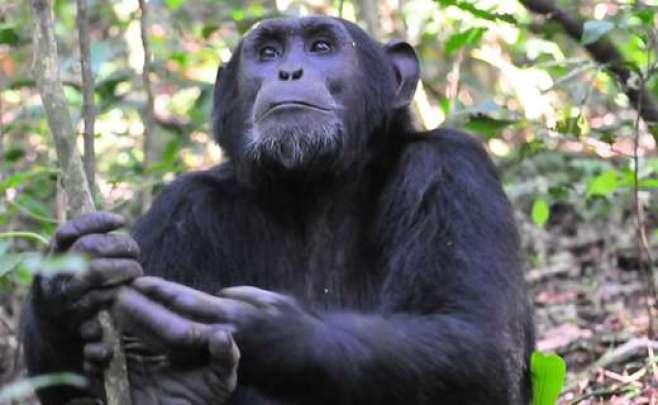 Chimp, Kibale Forest chimpanzee habituation experience gorilla tour uganda