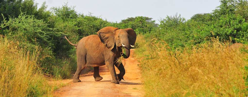 Elephant crossing road, Murchison Falls National Park uganda safari holiday gorilla trekking tour