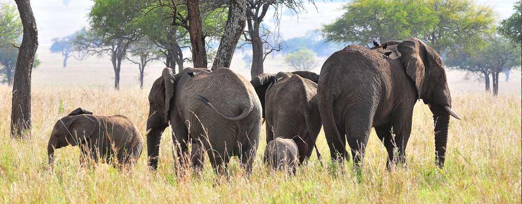 Elephant herd, Uganda