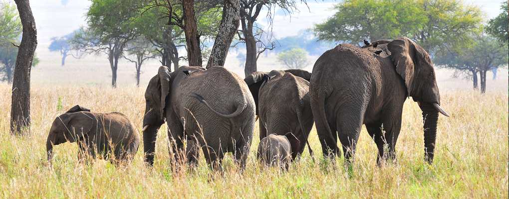 Elephant herd, Uganda fly kidepo safari flying kidepo tour