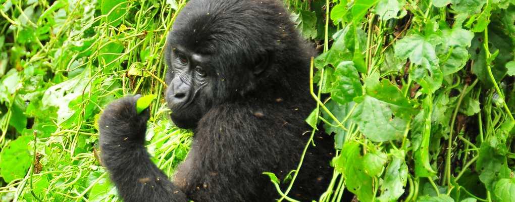 Gorila, Bwindi, Uganda