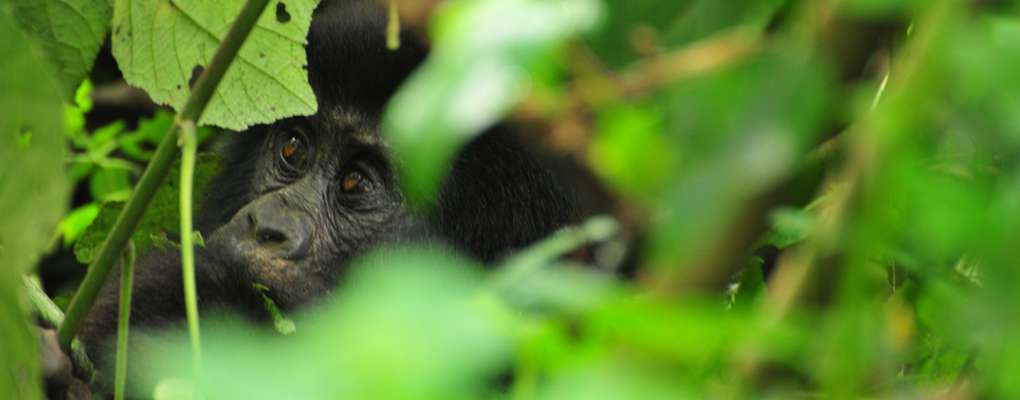 Comparing Gorilla Trekking Tours: Uganda Vs Rwanda – Compare prices, tracking experience, hardness. Compare Gorilla Trekking Uganda Rwanda.