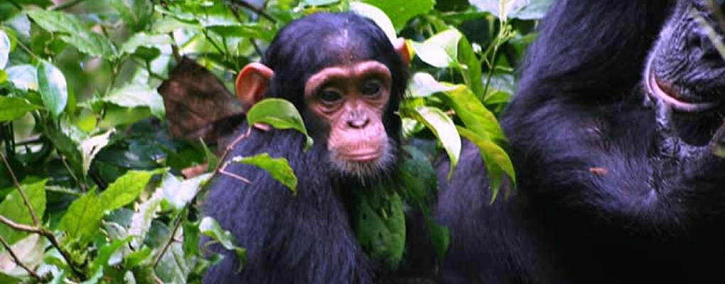 Chimpanzee and baby, Kibale Forest, Uganda
