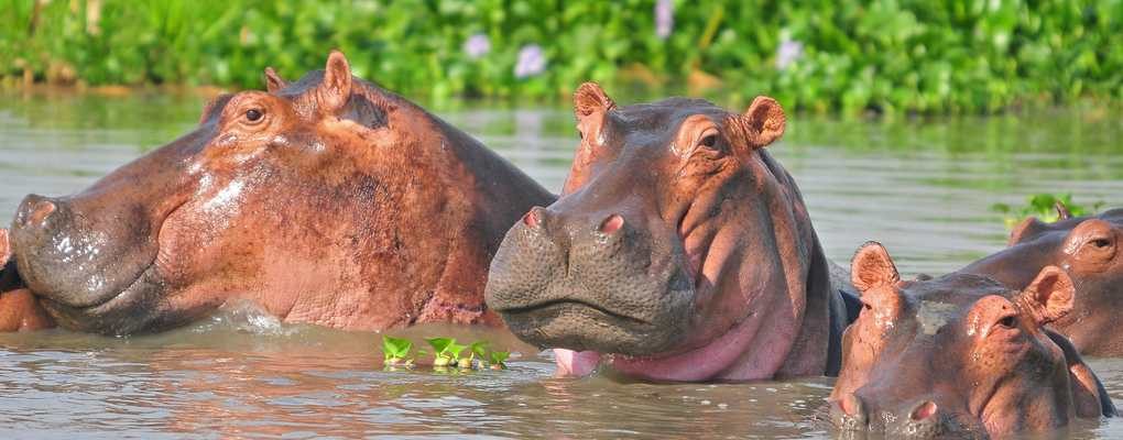 Best all-inclusive 7-day Uganda safari with gorilla trek, chimp tracking, primate wildlife tour Uganda. Track rhinos, BIG-5 wildlife, gorilla tour in Uganda. Hippos, Murchison Falls - Best of Uganda Tour, 7 days most popular Uganda tour