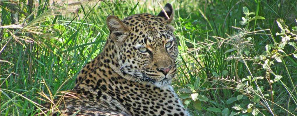 Uganda Rwanda safari tour Leopard, Queen Elizabeth National Park, Uganda