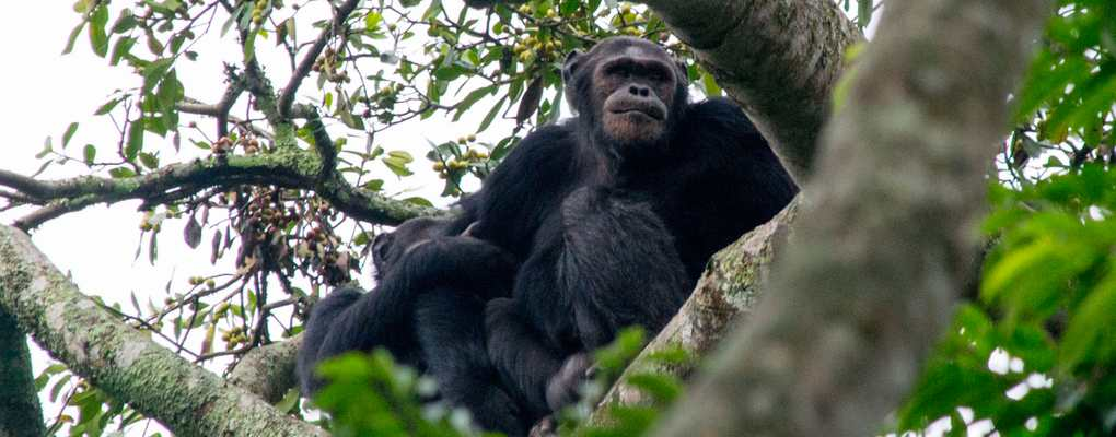 rwanda uganda gorilla chimp trek