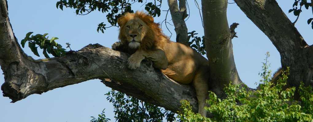 Tree-climbing lion, Ishasha, Queen Elizabeth National Park, Uganda