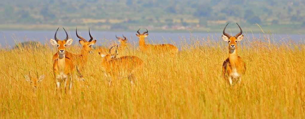 Uganda kob in the long grass