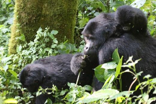 tracking the mountain gorilla family bwindi tour